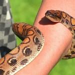 даже если змея обвилась