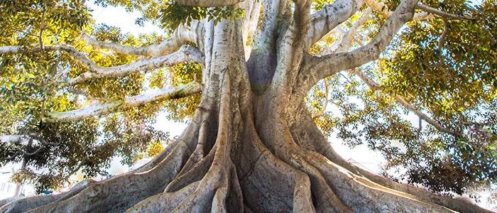 корень святости