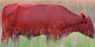 о красной корове
