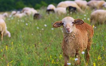 малые среди овец